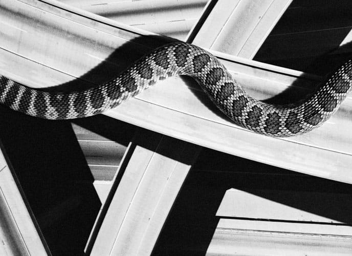 davidblack-cerrogordo-snake